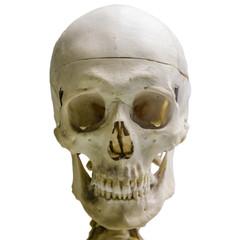 Human skull, isolated on white background