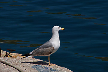 Seagull gazing the deep blue ocean