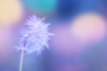 White spring close up wild flower dandelion on a blurry colored blue background