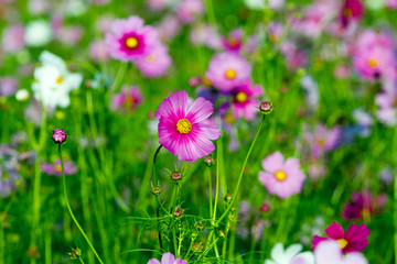 Cosmos flowers background