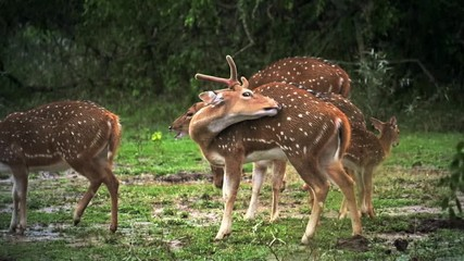 Slow motion video of wild deer in woods of protected forest in Yala park, Sri Lanka. Protected animals under tropical rain