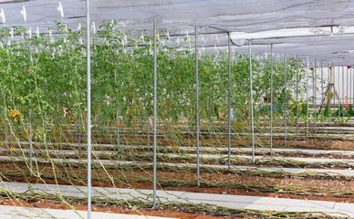 Potato creeper plant on organic farmming.