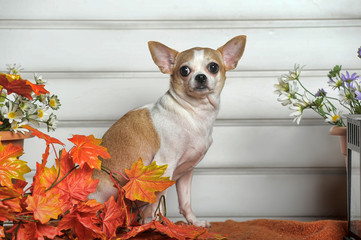 A chihuahua dog and fall leaves.