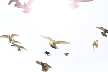 flock of doves flying in the forehead with sunny hotspot