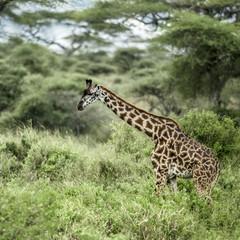 Giraffes in savannah, Serengeti, Africa