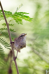 Image of bird (Common Tailorbird) on the branch on natural background.