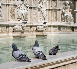 Pigeons on the Fonte Gaia fountain in Siena, Italy