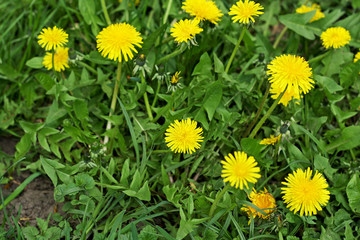 Yellow dandelions grow in a green grass