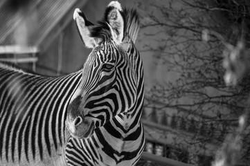 Door stickers Zebra Zebra in black and white close up