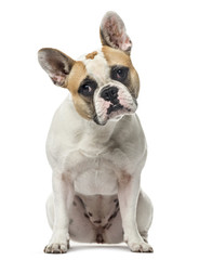 A French Bulldog, isolated on white, 2 years old