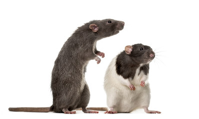 Two attentive Rats standing , isolated on white Fototapete