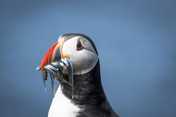 Close up of Atlantic puffin with sand eels in beak
