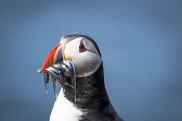 Mykines island, Faroe Islands, Denmark. Atlantic Puffin with catch in the beak.