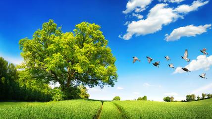 Fotoväggar - Große Eiche auf grünem Feld an einem wunderschönem Tag