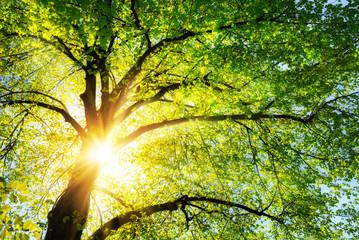 Wall Mural - Die Sonne leuchtet warm durch die grünen Blätter einer schönen Linde