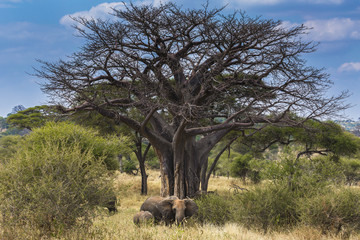 Elephant near a baobab tree in Tarangire National Park