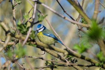 Bluetit wild bird perched on branch in spring