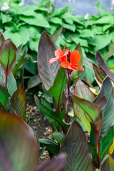 Red Canna Lily blooming flower