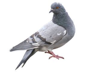 Grey dove isolated on a white background. Feral Pigeon