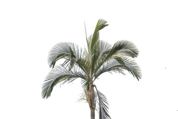 green palm isolated background,tall palm
