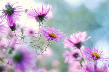 Close up shot of purple flowers asters.