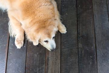 Sleeping dog on a wooden floor (Golden retriever lying)