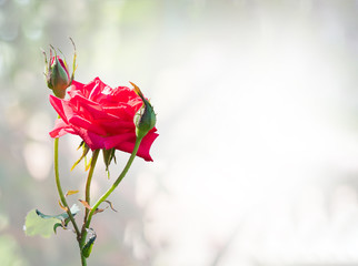 beautiful rose flower blossom on nature
