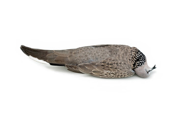Dead bird (Spotted Dove) isolated on white background