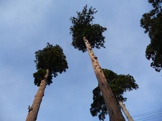 青空に伸びる杉(山形県)