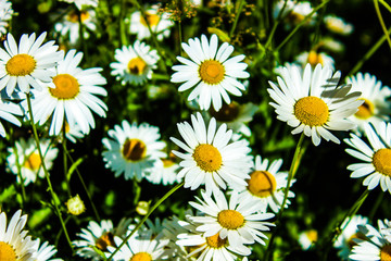 a lot of daisies, the bed of flowers, chamomile close-up