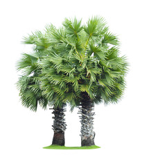 Tuinposter Palm boom Two borassus flabellifer (asian palmyra palm, toddy palm, sugar palm, or cambodian palm) isolated on white background