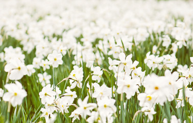 Planting white daffodils, spring time