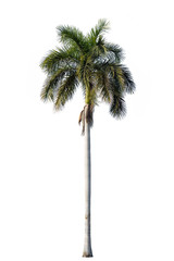Wall Mural - Royal palm blossom isolated on white background