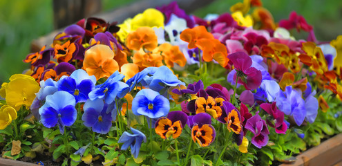 Papiers peints Pansies Pansies on the flowerbed