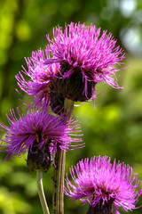 Wild flower. Blooming thistle growing on a summer field.