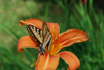 Pretty Orange Lily with a Butterfly On It's Petals