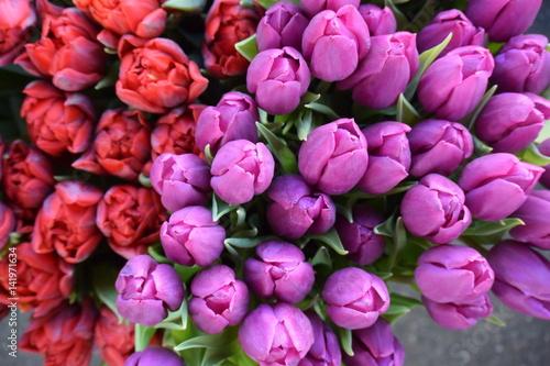 lila tulpen photo libre de droits sur la banque d 39 images image 141971634. Black Bedroom Furniture Sets. Home Design Ideas