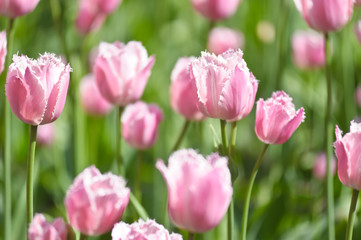 Pink tulips on the lawn