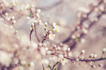 Spring blossom; extreme close up at flower buds; focus on foreground; selective focus;