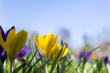 Gelbe Krokusse im Frühling
