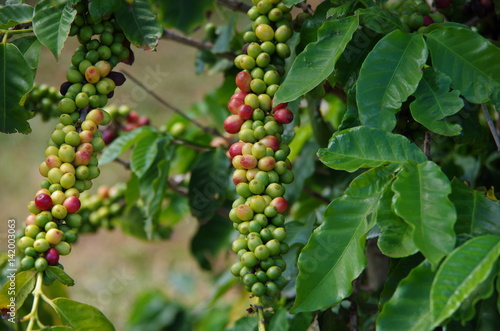 kaffeepflanze stockfotos und lizenzfreie bilder auf bild 142003063. Black Bedroom Furniture Sets. Home Design Ideas