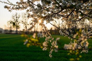 Sonne durch Kirschbaum