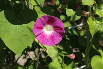 """Pink """"Common Morning Glory"""" flower (or Tall Morning Glory) in St. Gallen, Switzerland. Its Latin name is Ipomoea Purpurea (Syn Pharbitis Purpurea), native to tropical America."""