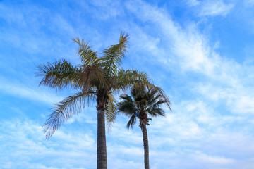 Two kind of palm tree with blue sky