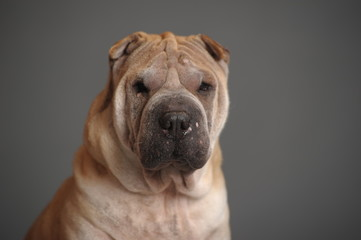 Acrylic Prints Dog Shar Pei dog sit in studio, isolated