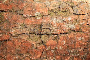 Travel to Chiangmai, Thailand. The bark of tree closeup for background.