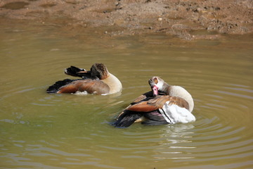 Egyptian geese cleaning themselves in the water