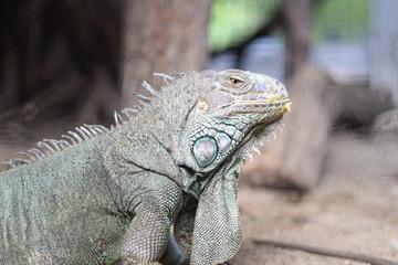 Portrait of big iguana on nature background.