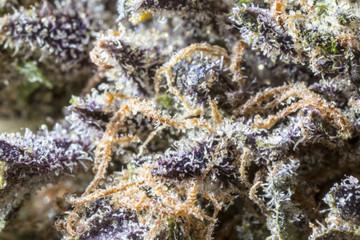 Close up of cannabis strain