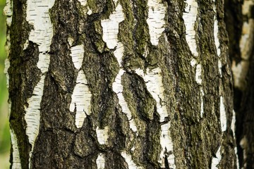 Picture of natural birch bark can be used by decorators and designers as a decorative background for your text or headings on the theme of nature.